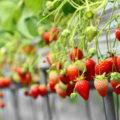 下関のイチゴ狩り「安い・旨い・ゆったり⇒内田農園」